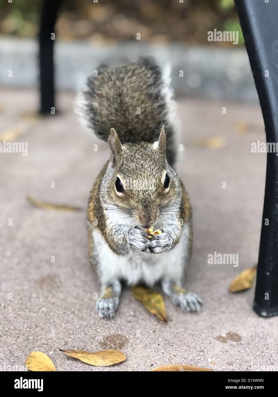 Squirrel eating popcorn - Stock Image