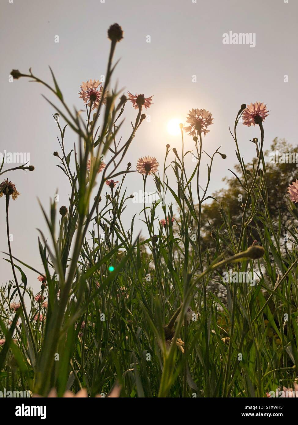 Beautiful Daisy flowers at sunlight Stock Photo