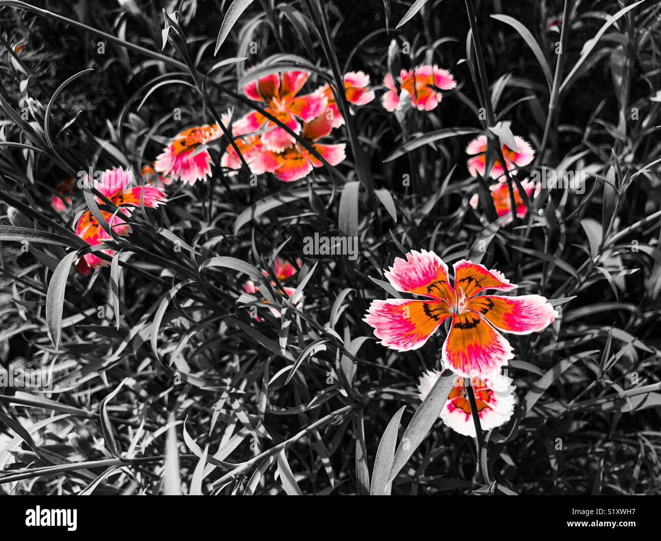 Beautiful Pansy flowers with black background Stock Photo