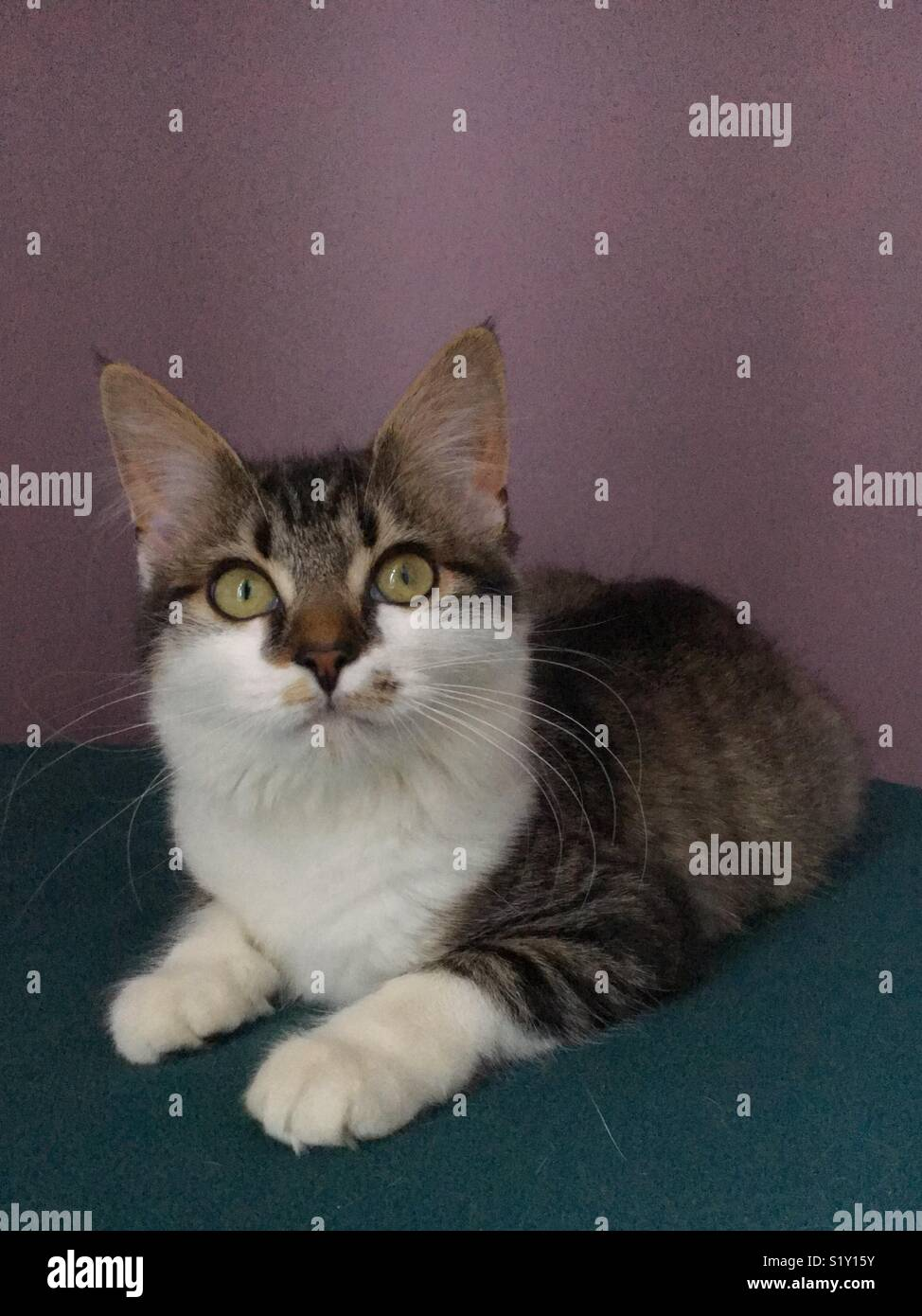 Cat sat on a green blanket against a purple wall - Stock Image