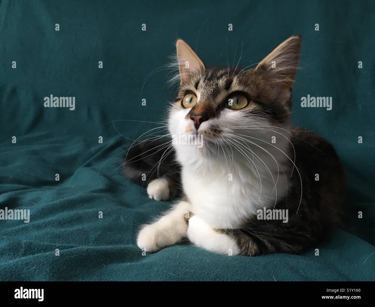 Cat sat looking into distance, sat on a green blanket - Stock Image
