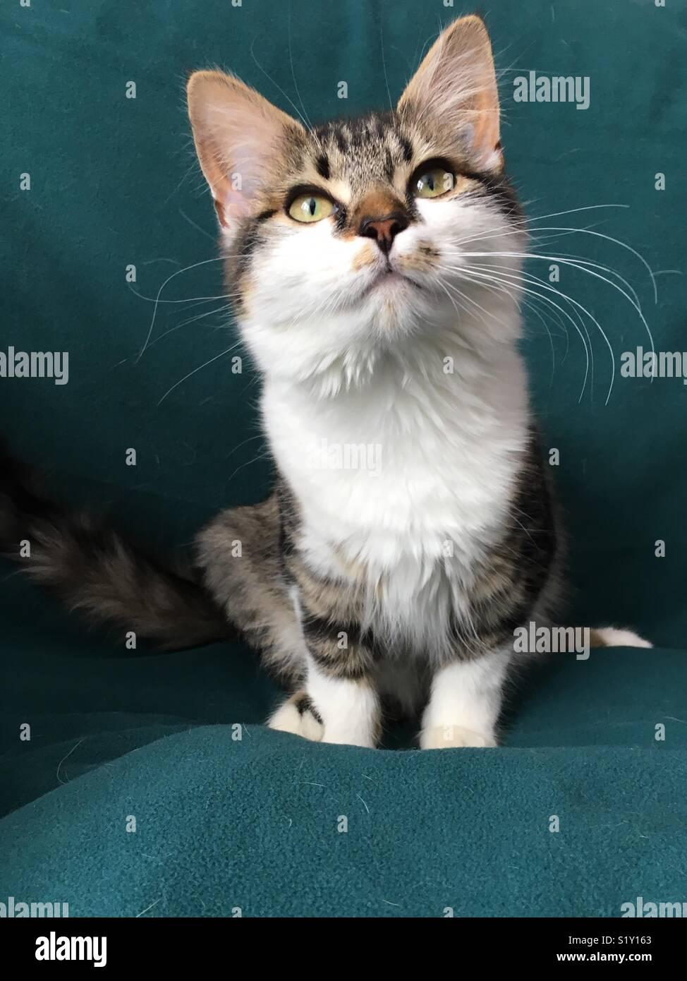 Cat sat on a green blanket looking upward - Stock Image