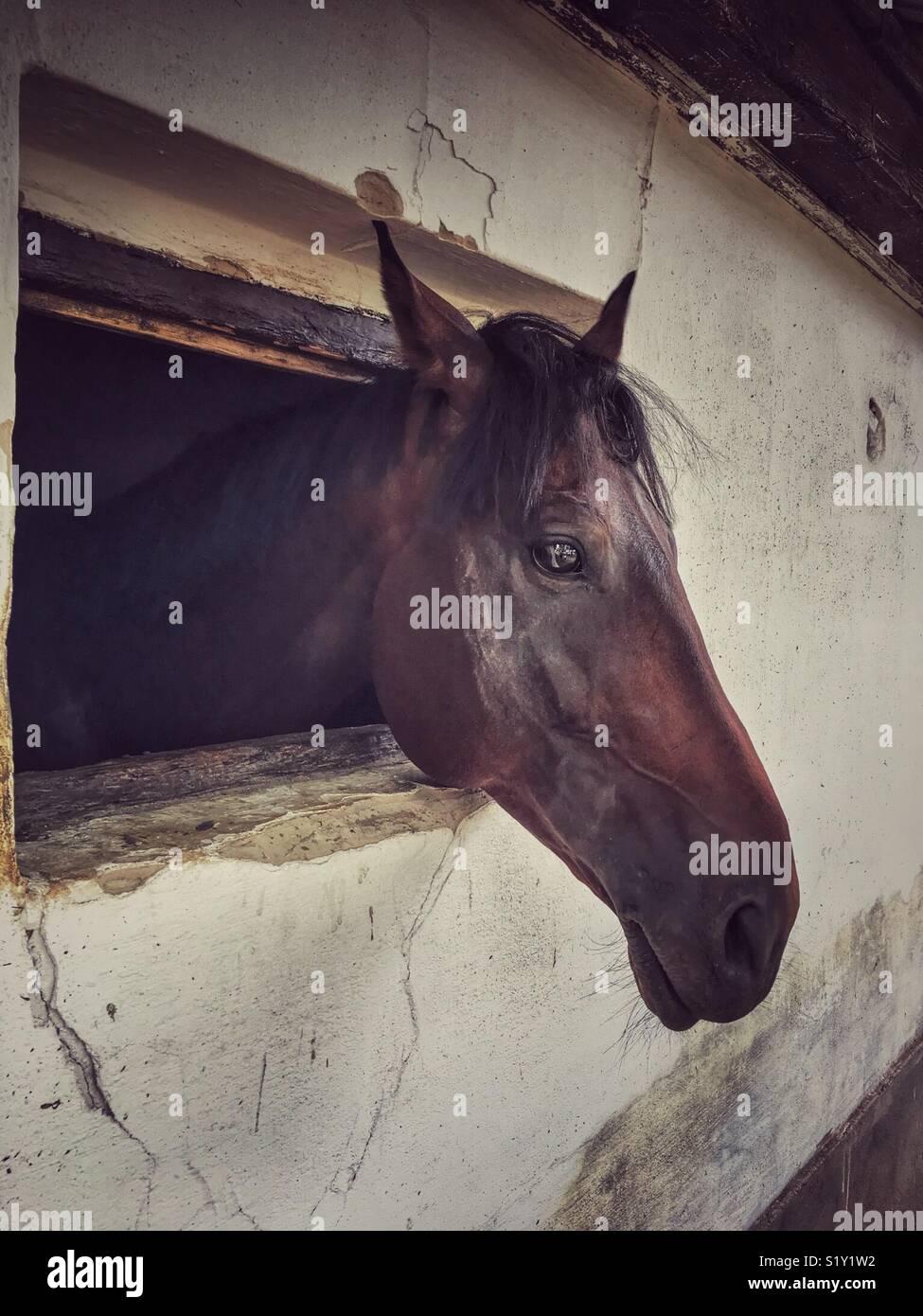 horse head through the barn window - Stock Image