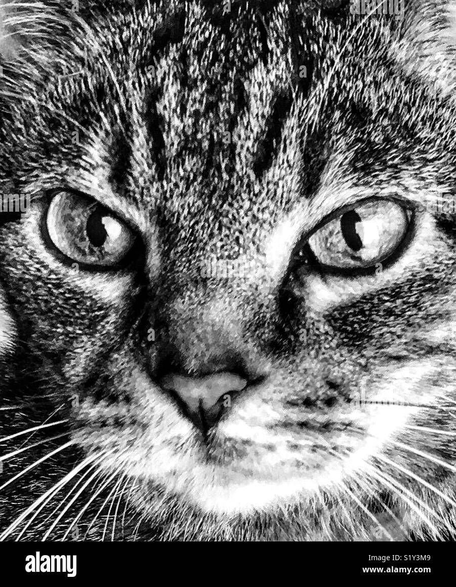 Portrait of cat with slit pupils, black and white - Stock Image