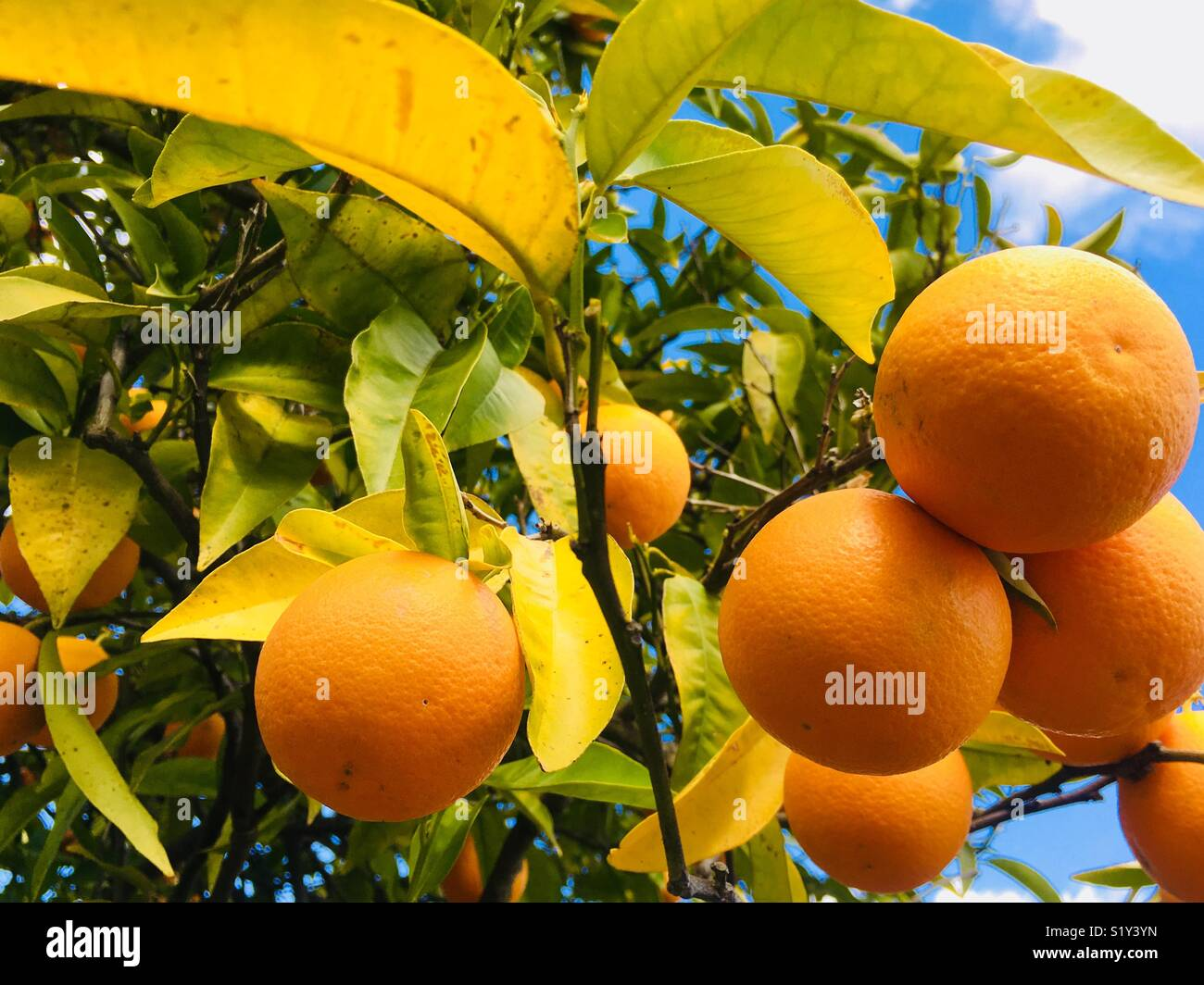 Ripe oranges and leaves - Stock Image