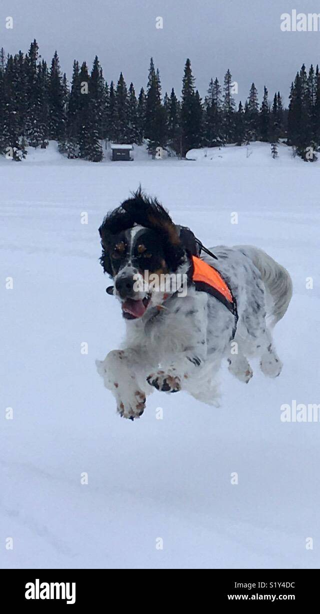 Dog on run Stock Photo