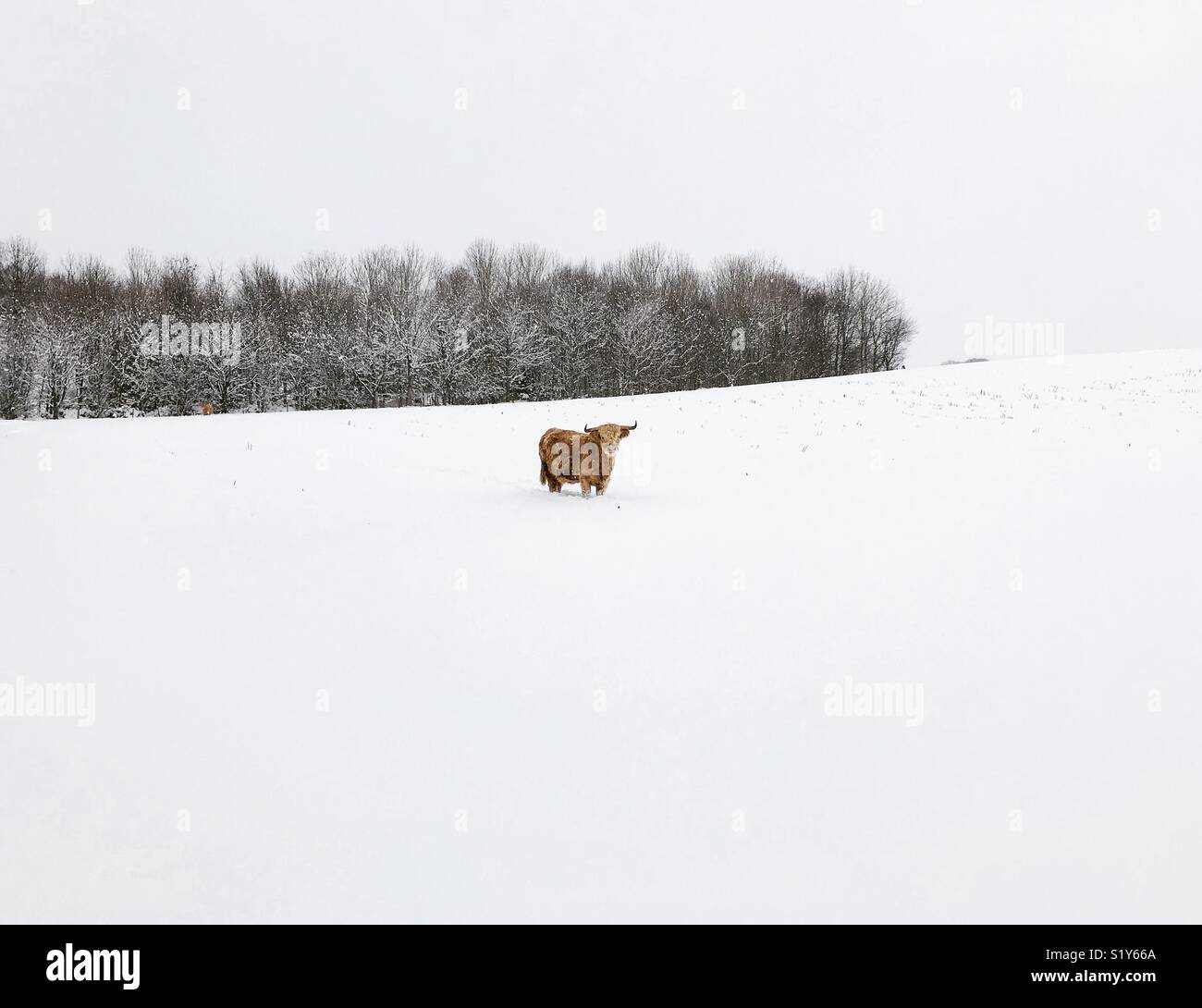 Scottish Highland Cow in snow - Stock Image