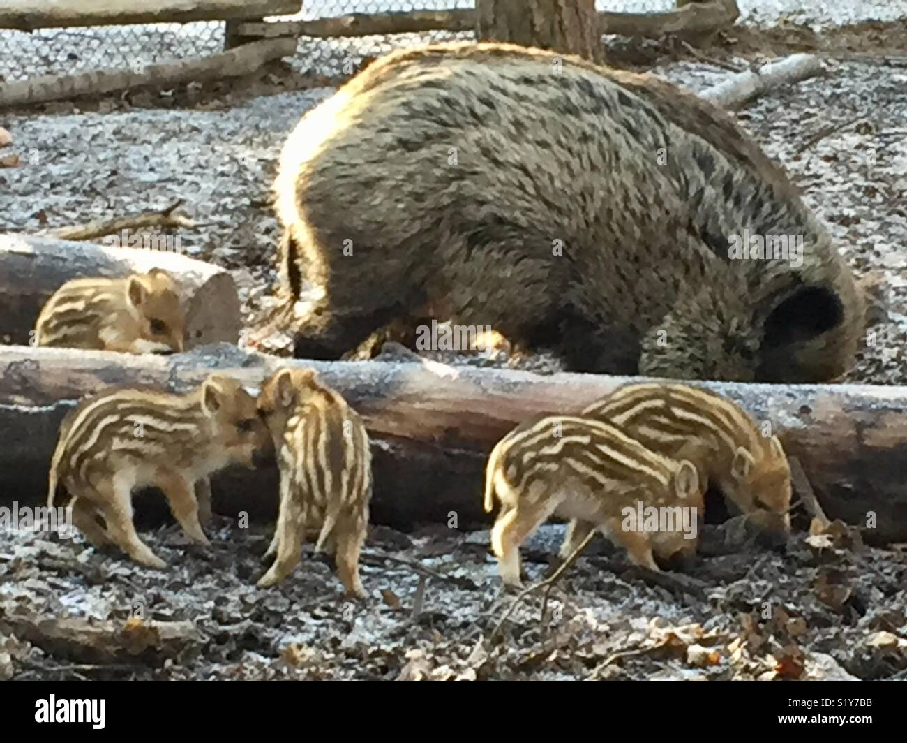 Five wild piglets with wild sow in a winter forest.  Brown tones with brown grey background with log. Stock Photo