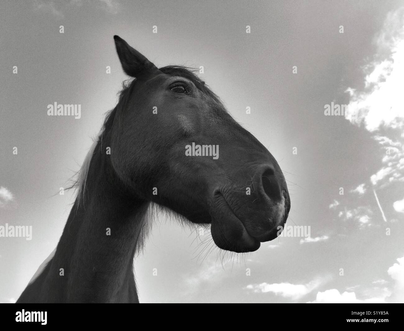 Happy Horse Strikes a pose for a portrait in black and white. The sky and the clouds are his back drop. Stock Photo