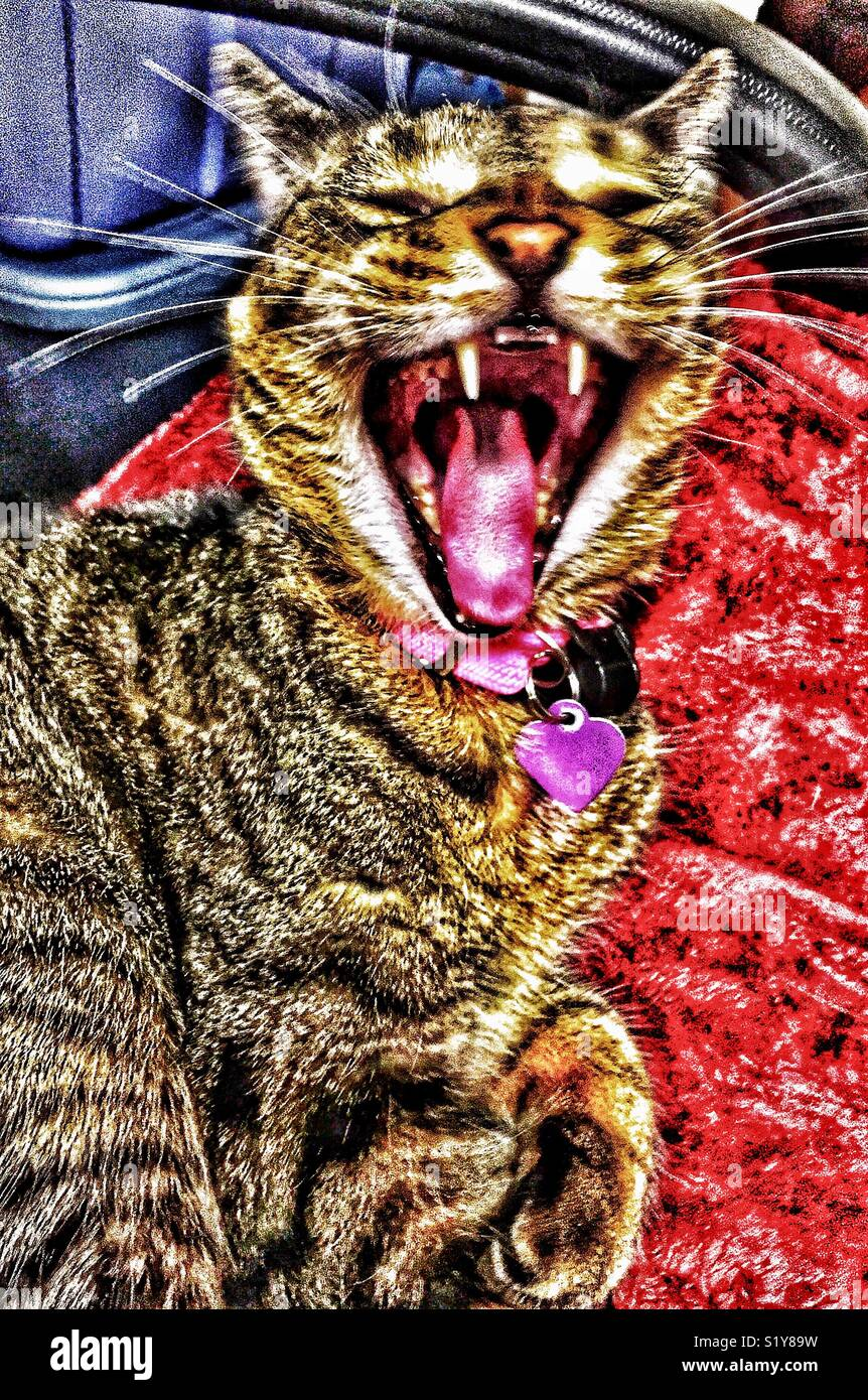Brown tabby cat yawning with teeth bared - Stock Image
