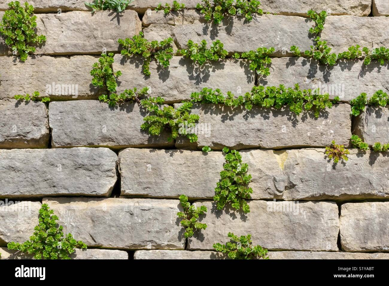 Textured limestone brick wall with climbing vines - Stock Image
