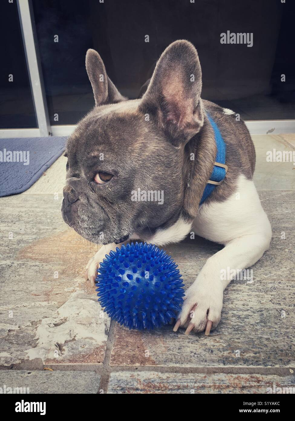 French Bulldog keeps a close eye on his favorite toy - Stock Image