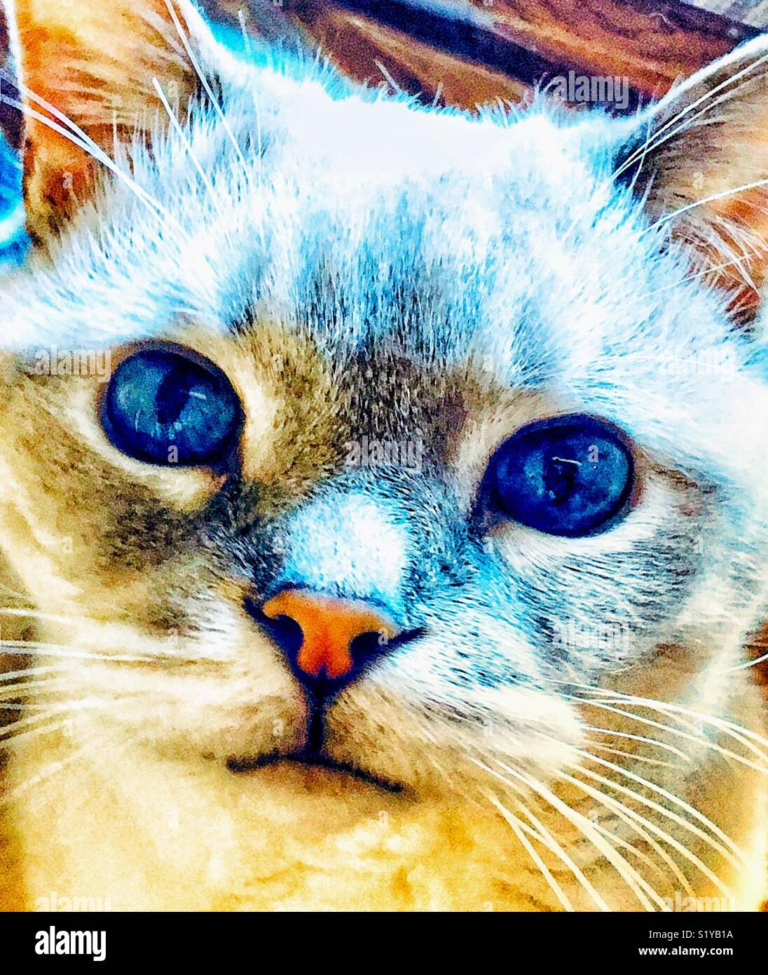 Lynx Point Siamese Cat With Huge Blue Eyes Stock Photo Alamy