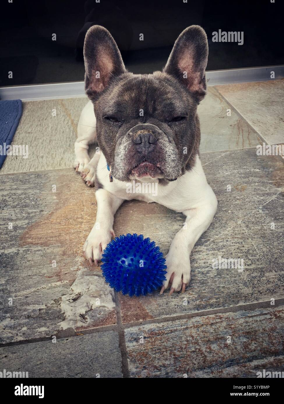 A French Bulldog gives an evil eye glance to anyone who dares to touch his favorite dog toy - Stock Image