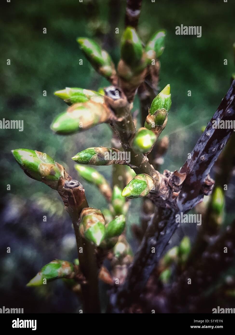 bursting buds - Stock Image