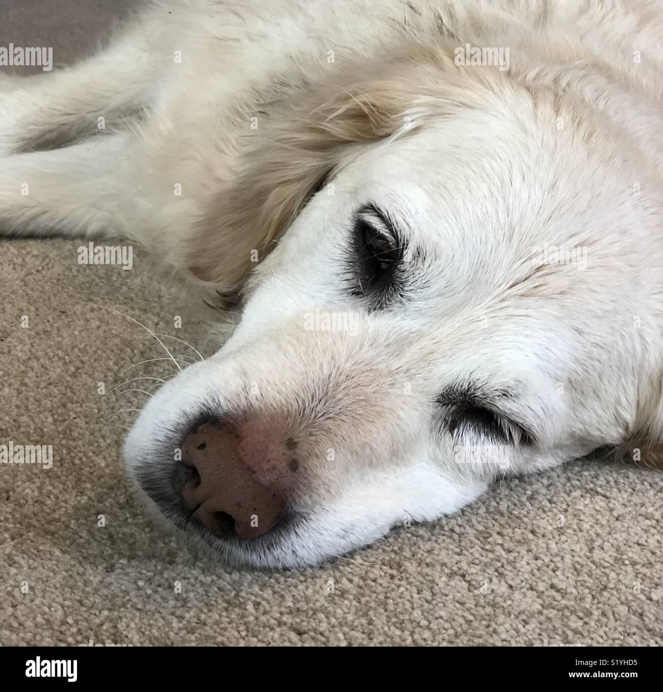 Dog Chewed Up Rug: Dog On Carpet Stock Photos & Dog On Carpet Stock Images
