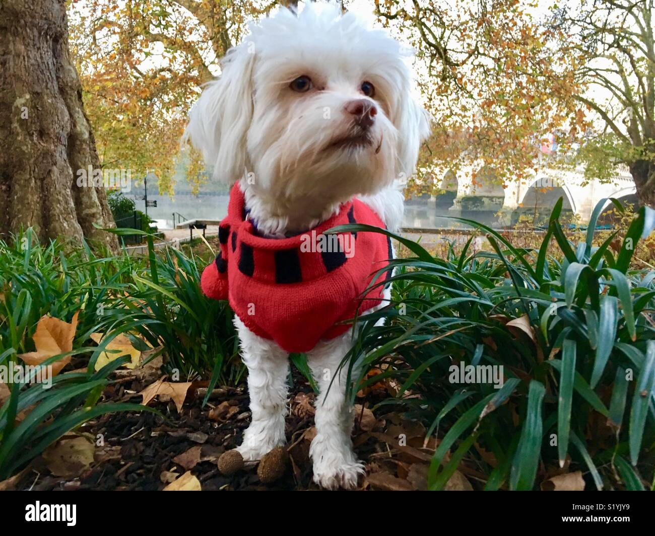 A small white mixed breed dog (Maltese - Shih Tsu) wearing a dog sweater on a cold morning at Richmond Upon Thames, London, England UK - Stock Image