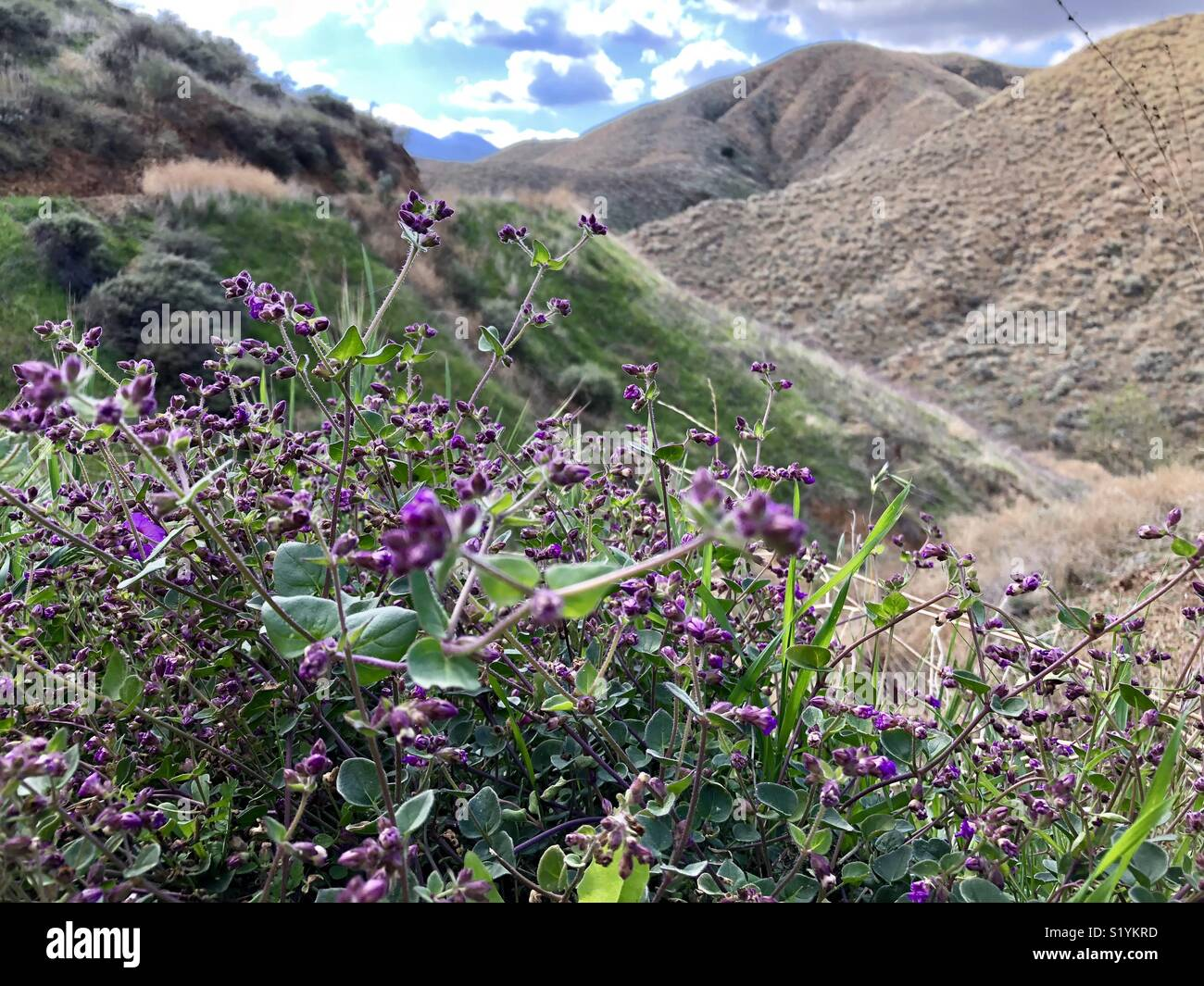 Purple flowers,Walker Canyon - Stock Image