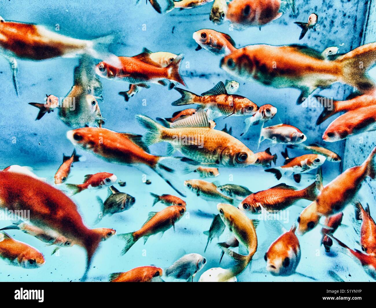 View of a large number of goldfish in an aquarium - Stock Image