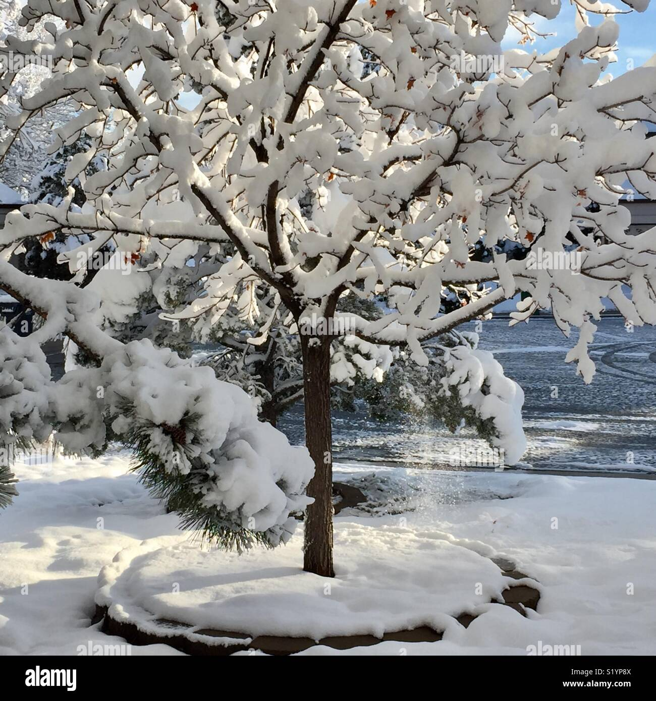 Snow falling off tree after spring storm in Colorado - Stock Image