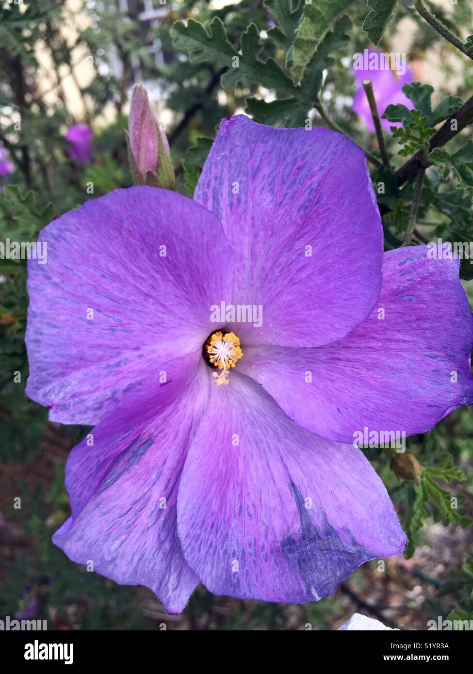 Bright Purple Flower On Bush In California Stock Photo 311012110