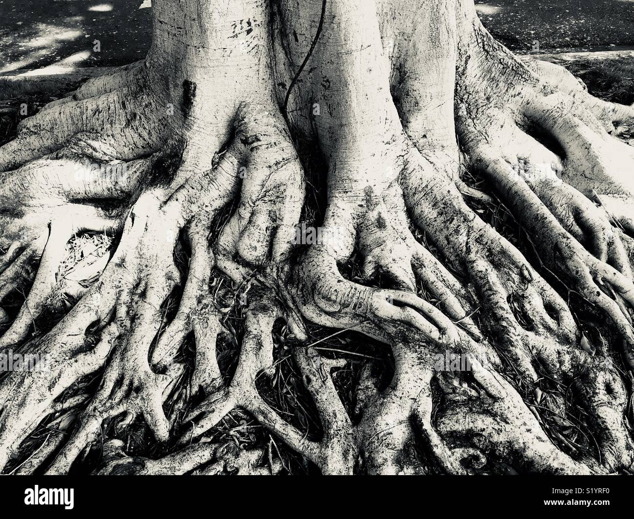 Lack and white tree trunk roots - Stock Image