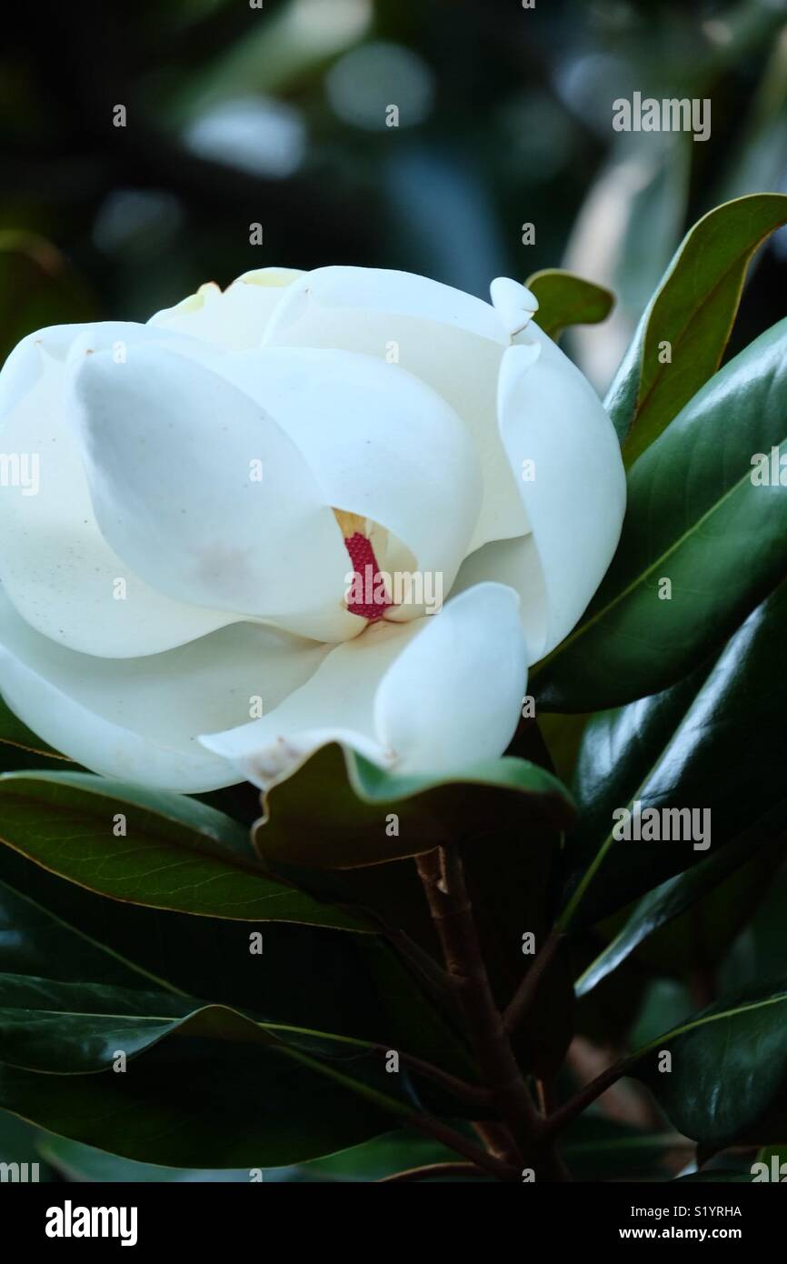 A magnolia blossom hiding its secrets. - Stock Image