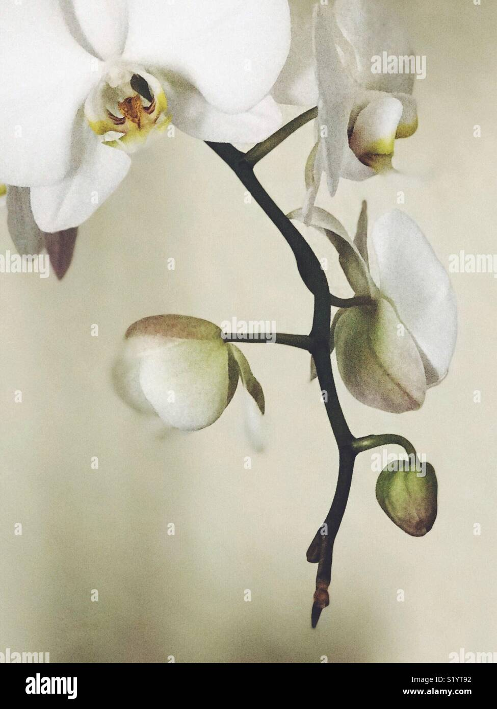 Beautiful, artistic and painterly orchid branch with white flowers, warm tones and room for copy. - Stock Image