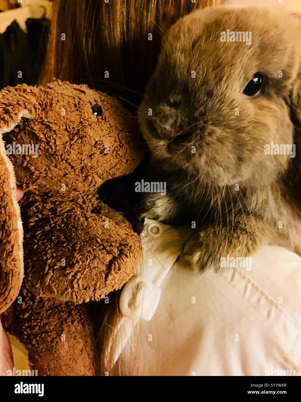 474fa36a476 Blue Tort Holland Lop dwarf rabbit being introduced to stuffed toy rabbit -  Stock Image