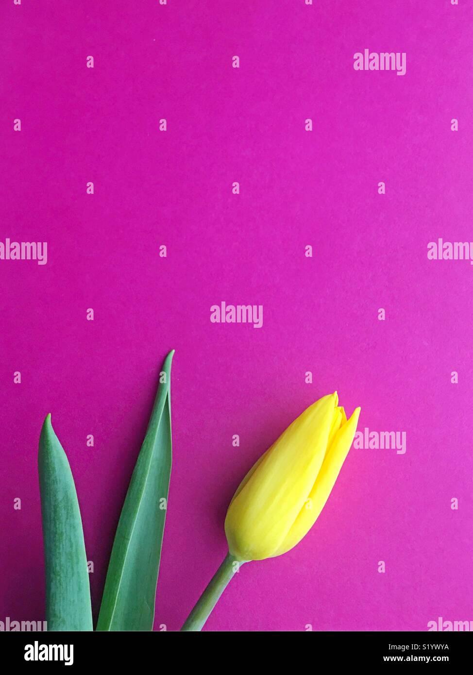 A single yellow tulip. - Stock Image