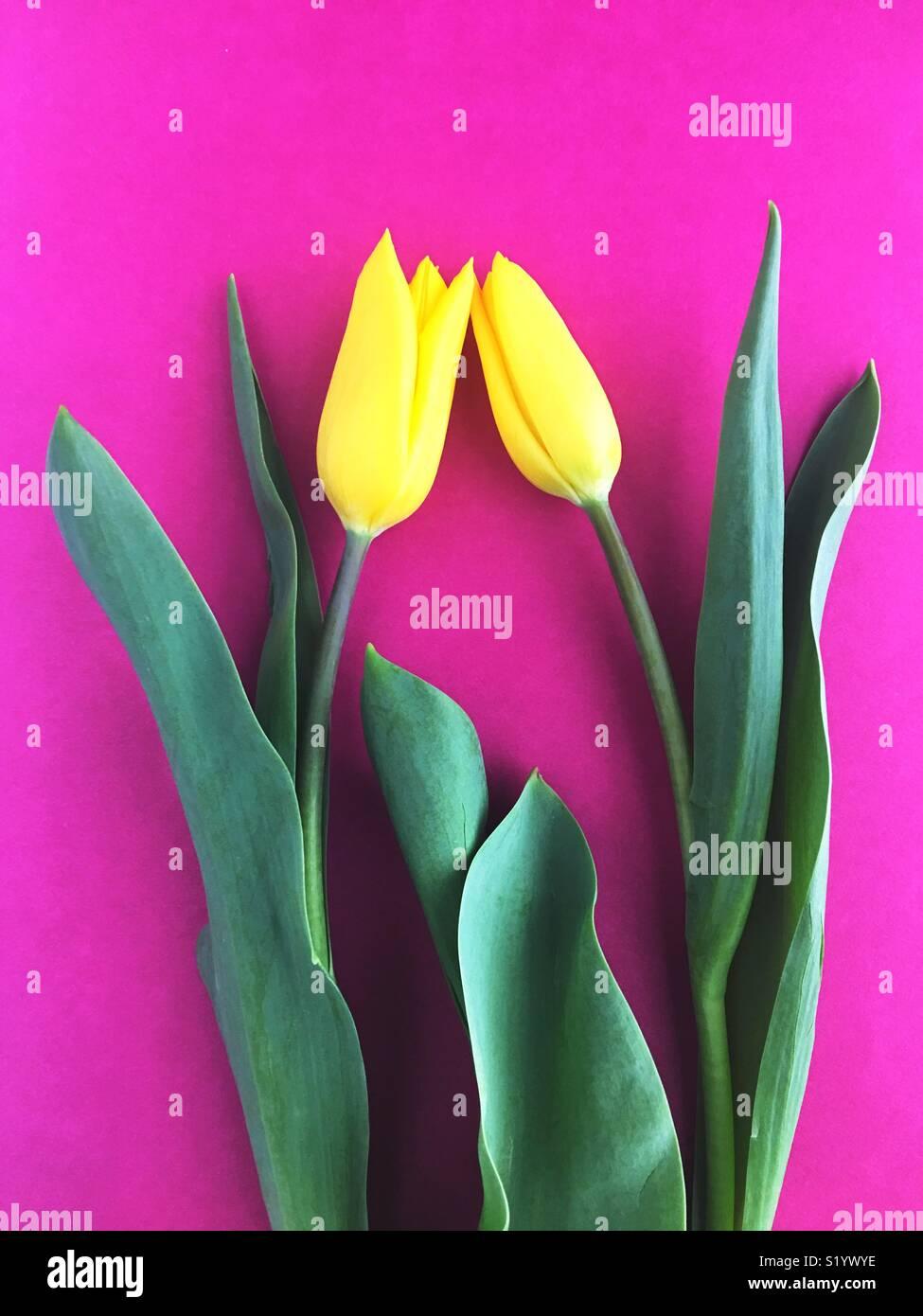 Two yellow tulips. - Stock Image