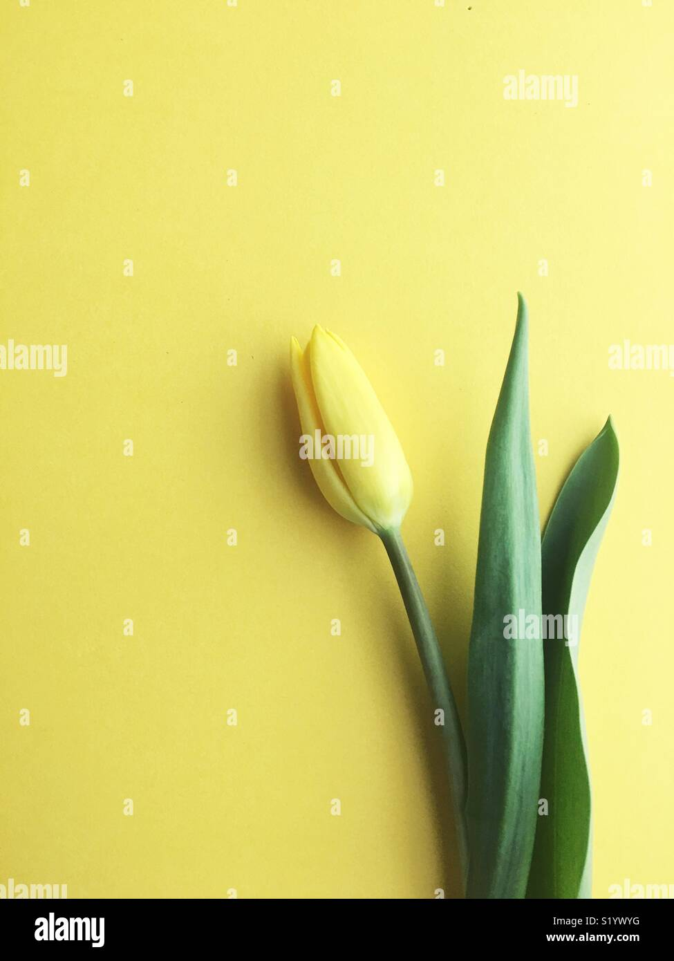 A single yellow tulip. Stock Photo