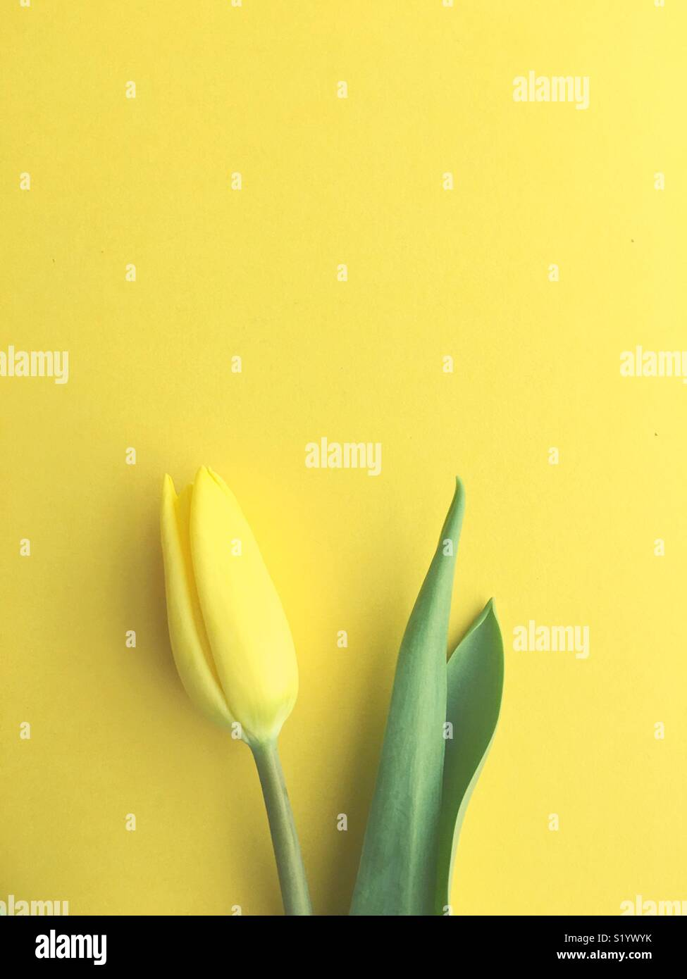 A single yellow tulip. - Stock Image
