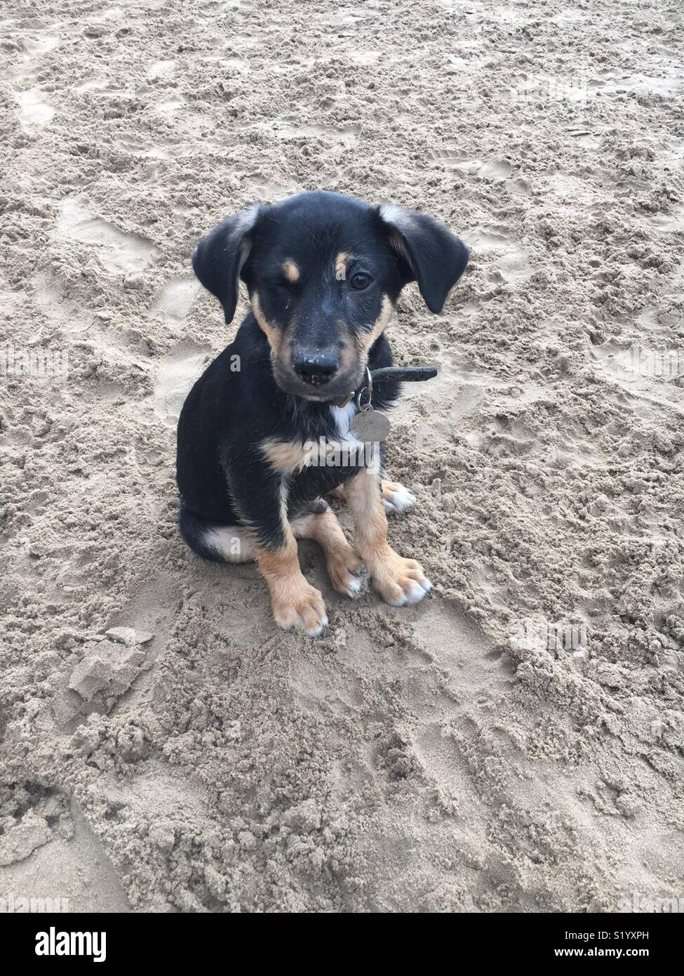 Black and Tan puppy dog winking his right eye while sitting on a beach.  And he's cute. - Stock Image