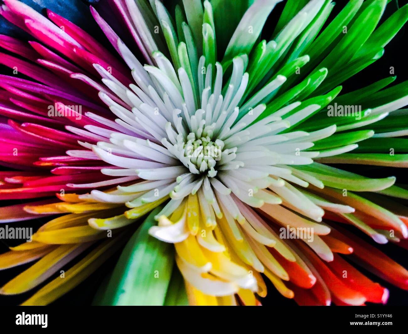 An amazing explosion of colour from a brightly multi coloured flower - Stock Image