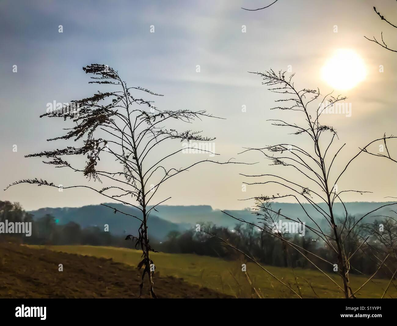 Dried plants on a field - Stock Image