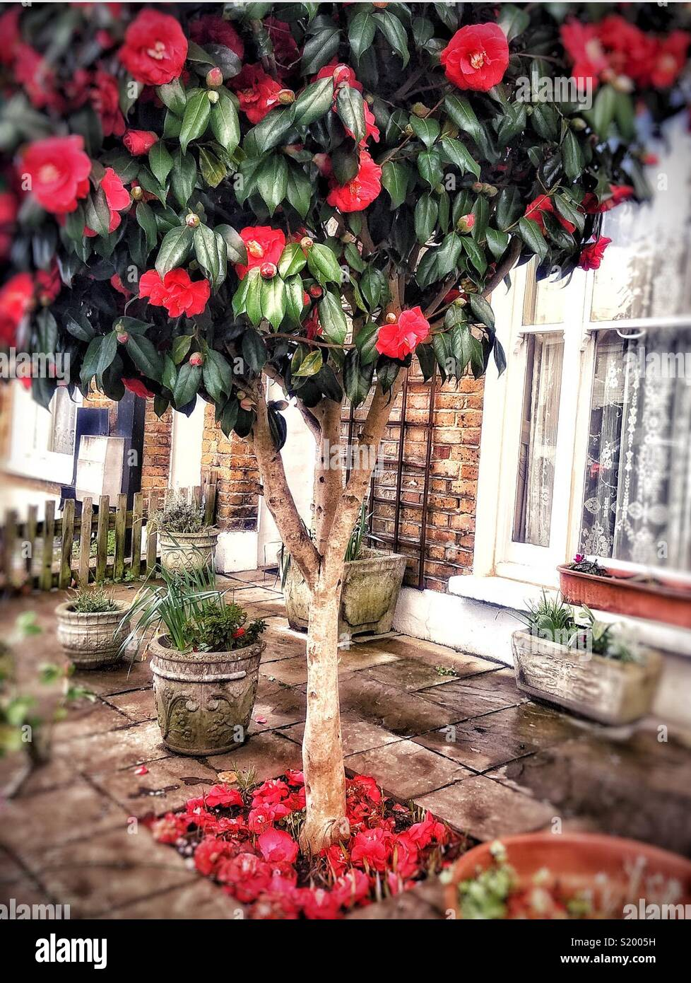 A Camelia growing in the front garden of a terraced house in Nunhead South London. Stock Photo