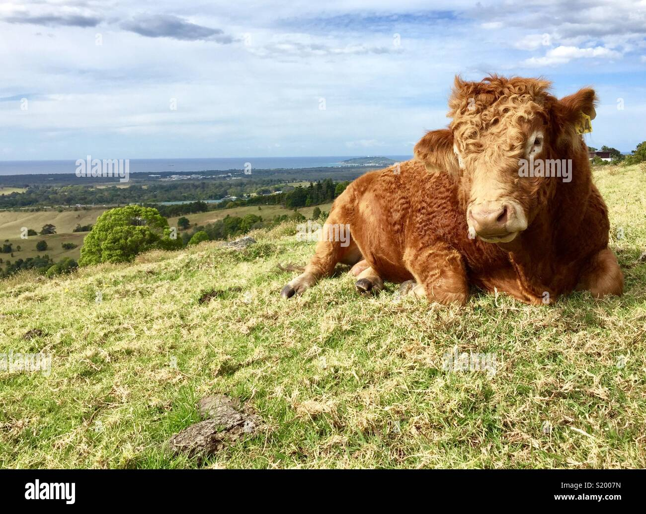 Cow on a hill - Stock Image