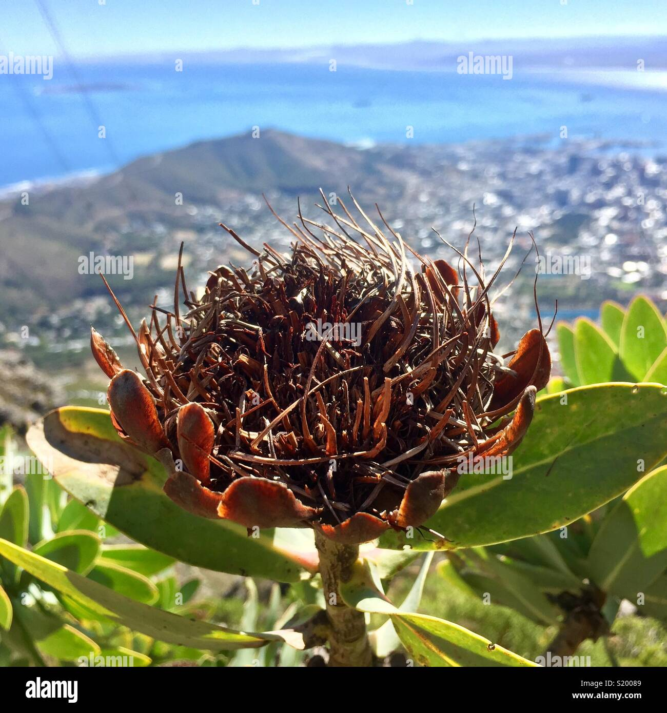 South African Protea in Drought - Stock Image