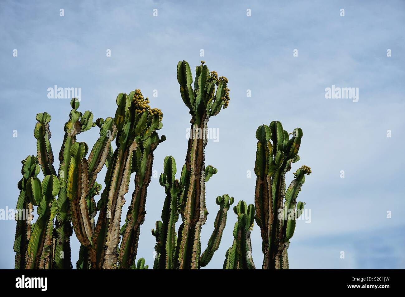 This is the cactus from cactus garden in The Getty Center in LA. Intrigued by the elegance of them! - Stock Image