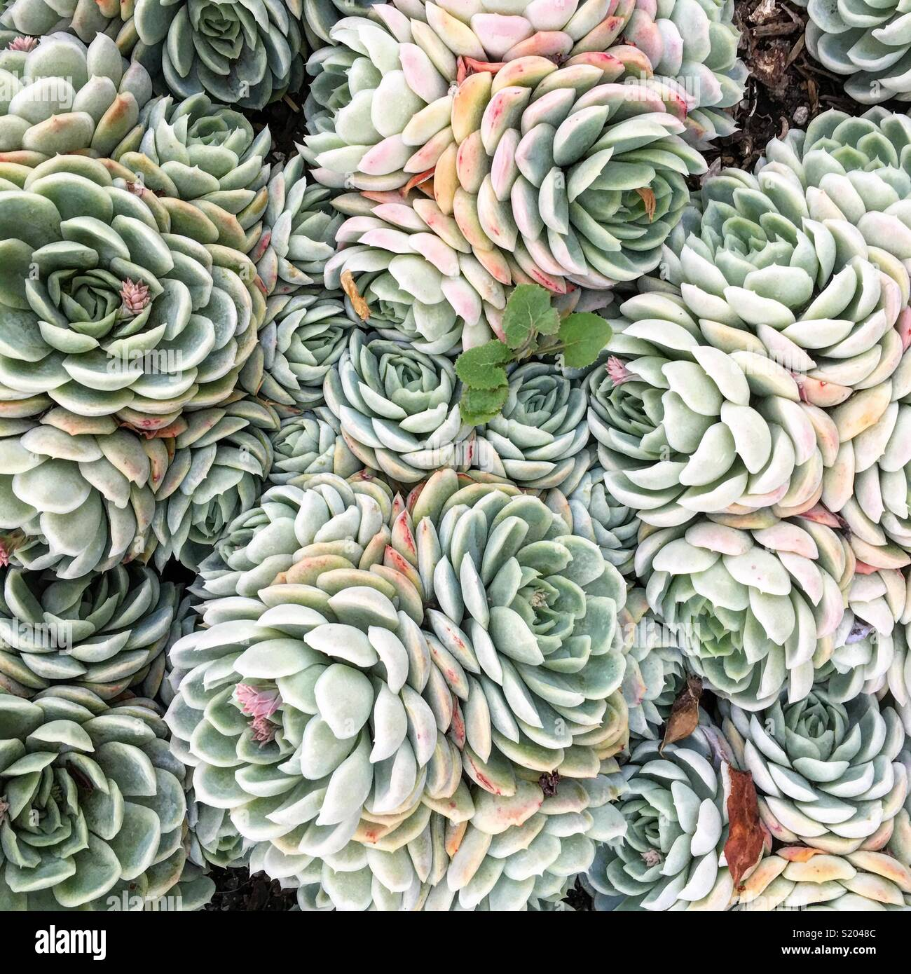 Pastel colored desert succulents grow together. - Stock Image