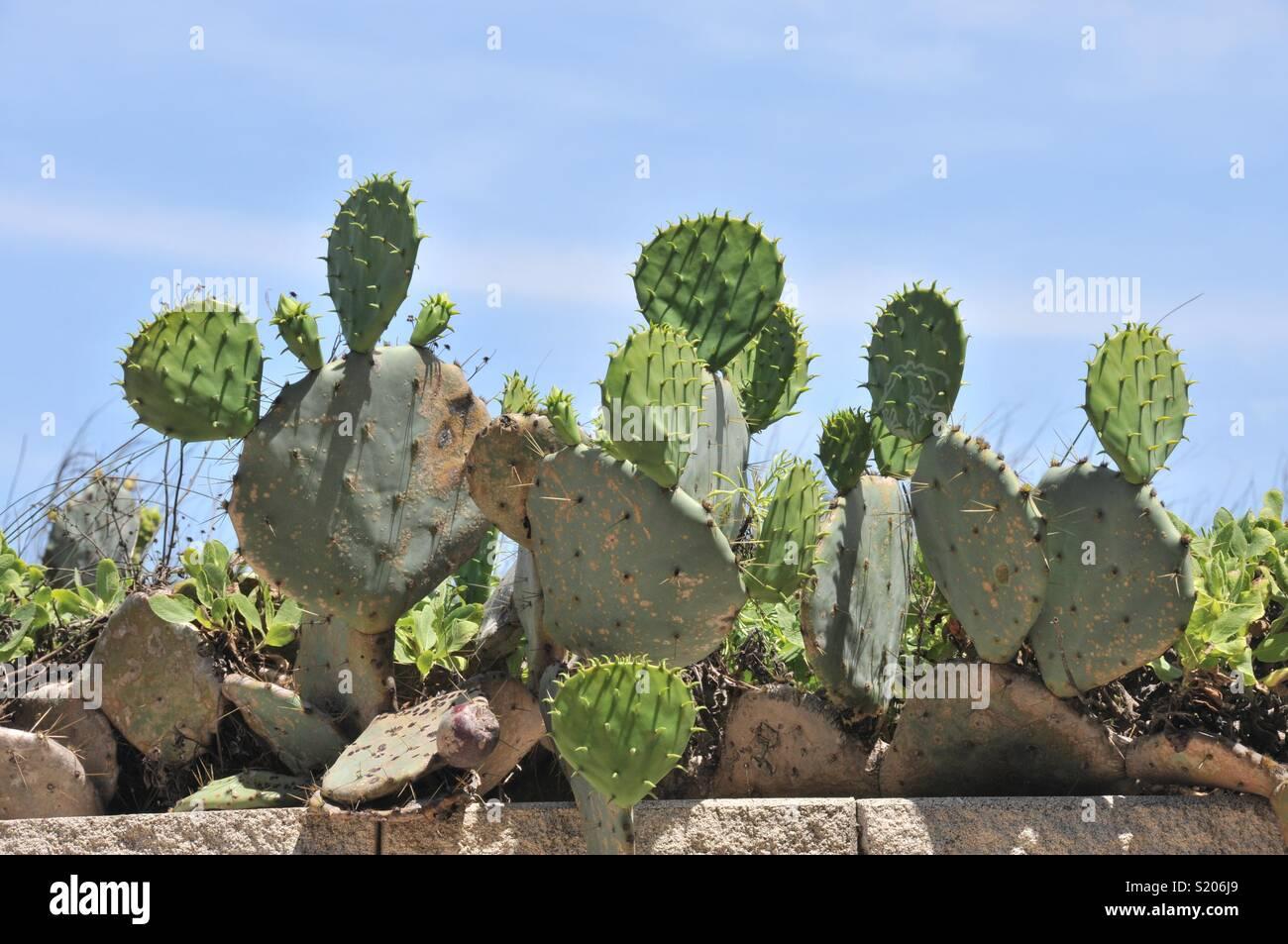 Cactus in Port Aransas, Texas. - Stock Image
