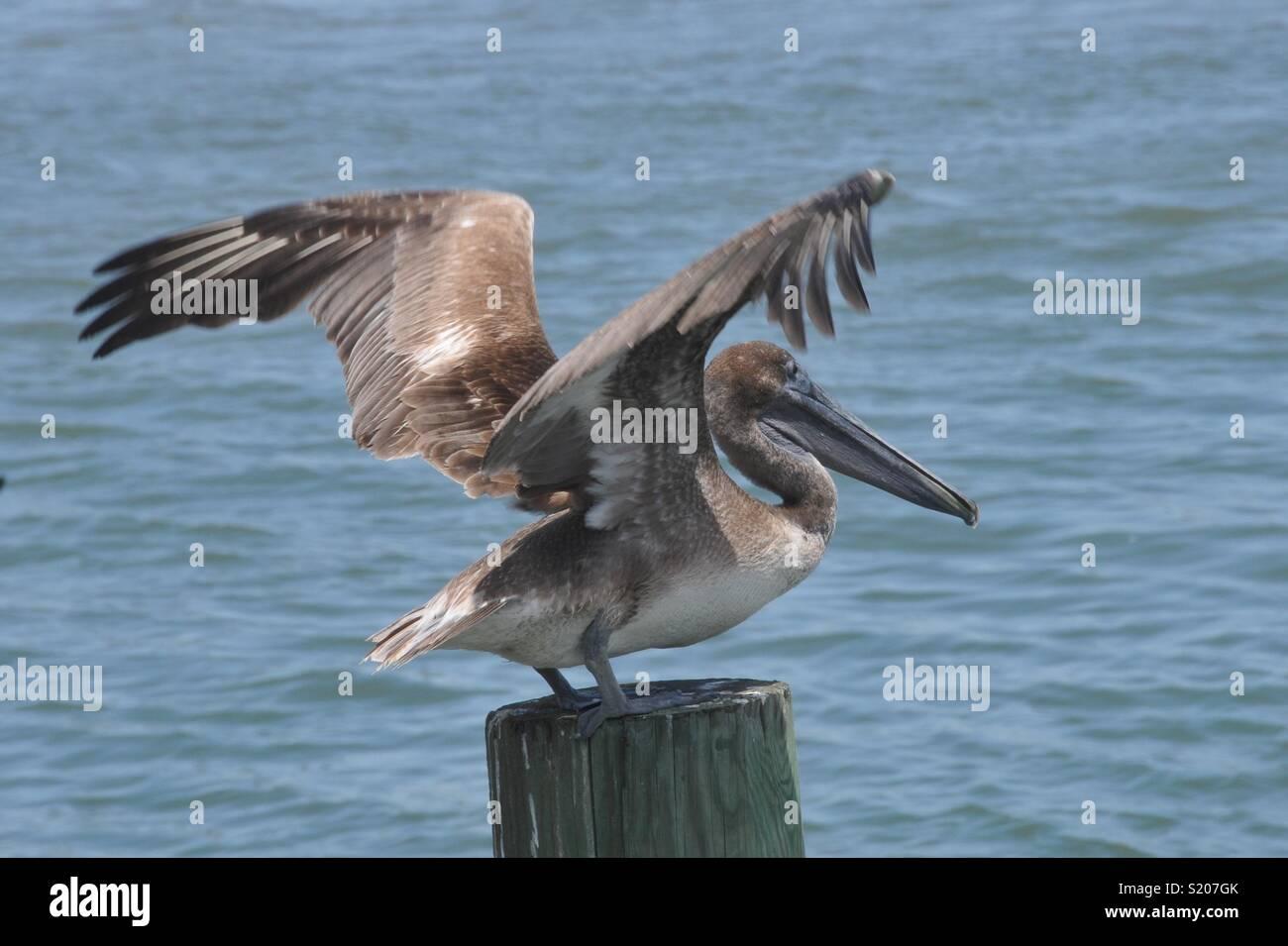 Brown Pelican in Mustang Island, TX. - Stock Image