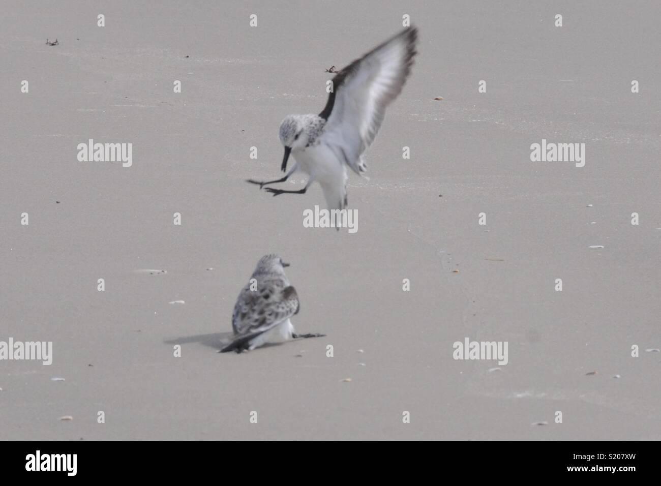 Sanderlings quarrel in Mustang Island, TX. - Stock Image