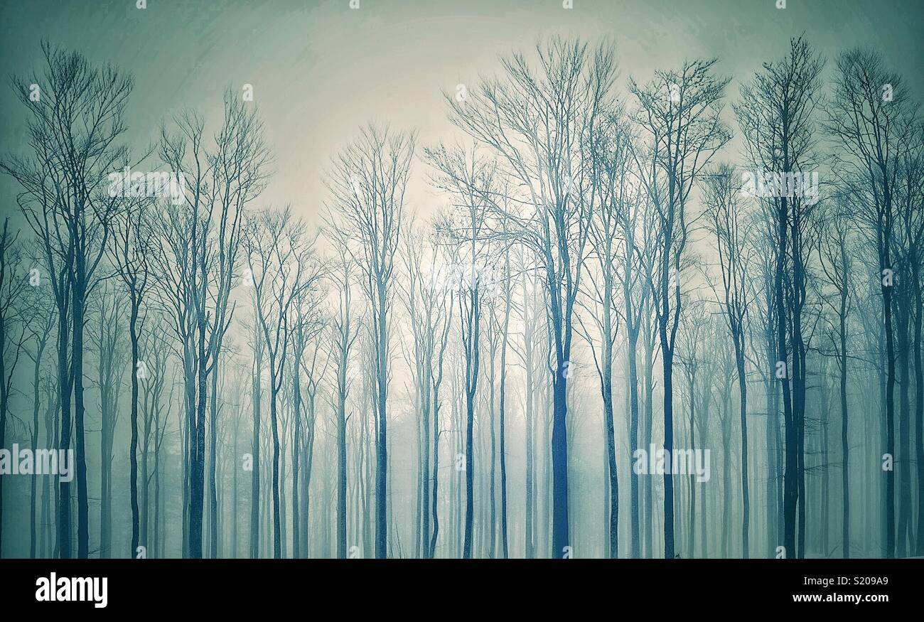 Gloomy and dark forest with silhouetted leafless trees in winter, Vosges, France. - Stock Image