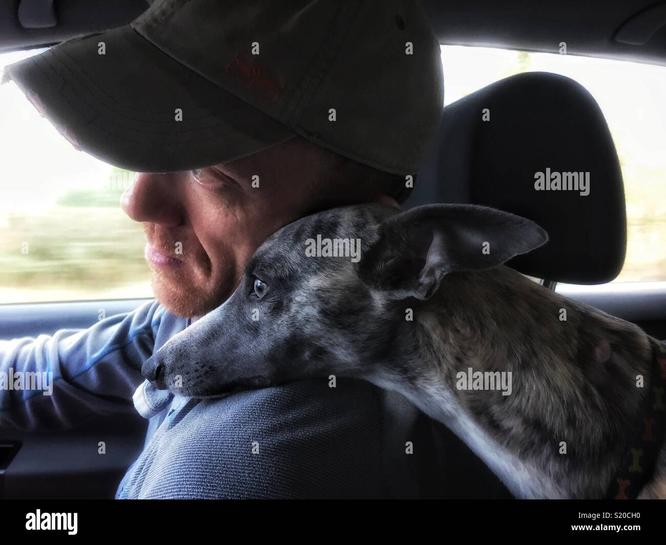 85b6025f962ee Pet Whippet resting it s head on its owners shoulder. - Stock Image