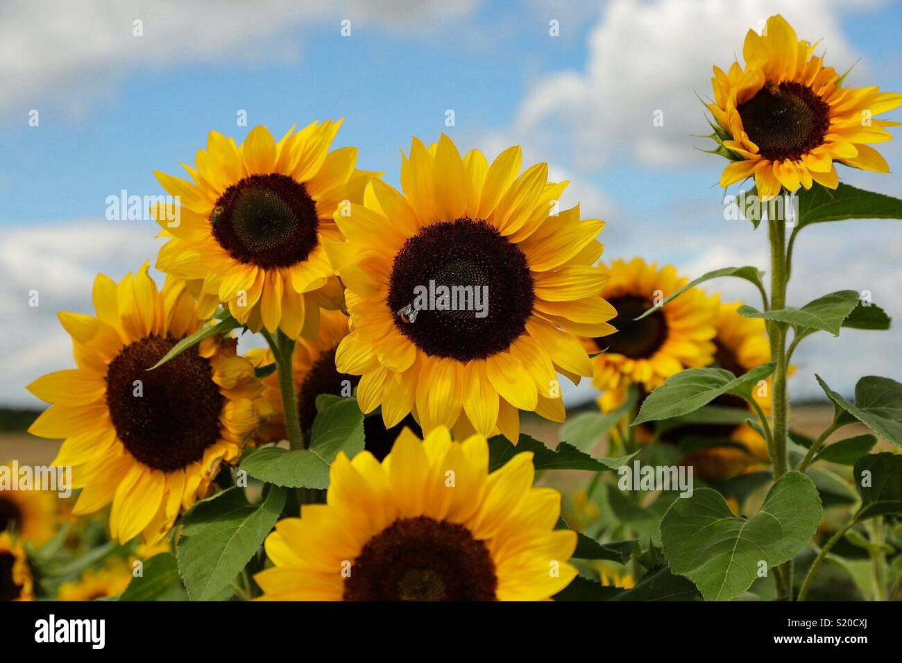 Beautiful Sunflowers Watching Out For The Sun Stock Photo 311026090