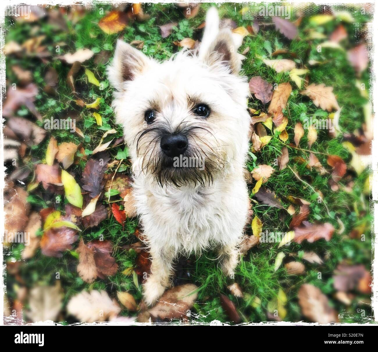 Must see Cairn Terrier Ball Adorable Dog - cute-cairn-terrier-puppy-looking-up-at-camera-with-autumn-leaves-on-the-ground-S20E7N  2018_57436  .jpg