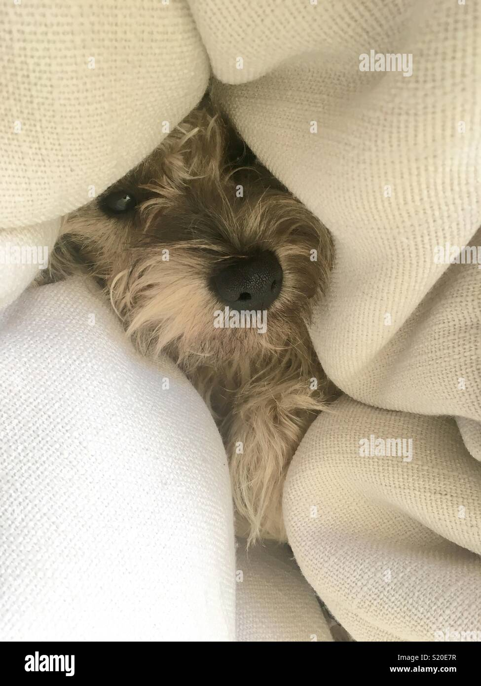 Cute Cairn Terrier puppy cuddling into a beanbag - Stock Image