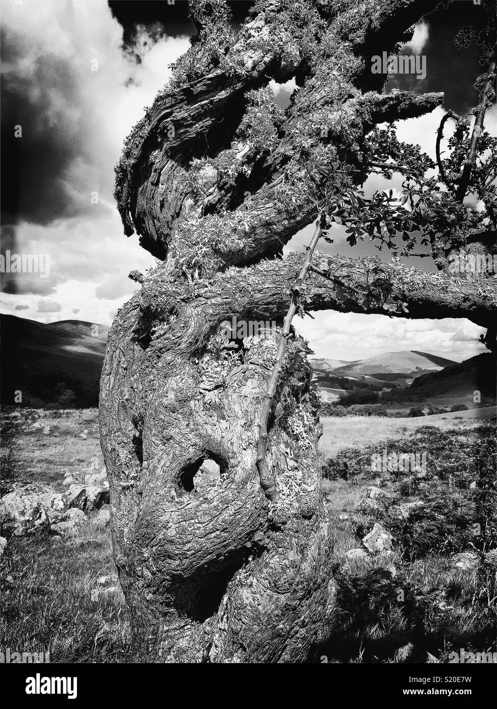 B&W Hipstamatic shot of ancient wind blown tree with bent branches and belly button in it's trunk - Stock Image